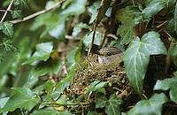 Grauschnäpper, brütend im in Efeu versteckten Nest, Grau-Schnäpper, Muscicapa striata, spotted flycatcher
