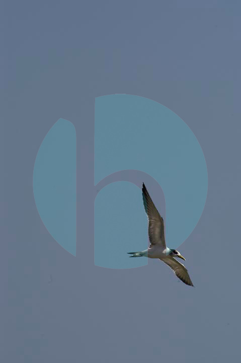 September 23rd, 2003_Dili,East Timor-A Greater Crested Tern flies over the beach area near the Timories capital Dili.  Photo by Daniel J. Groshong/Tayo Photo Group