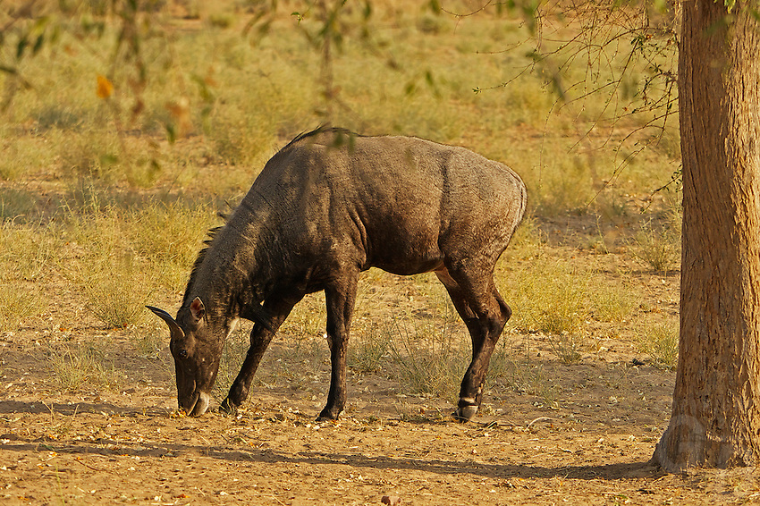 A wild Male/Bull Cow in the Thar Desert Rajasthan, India ...
