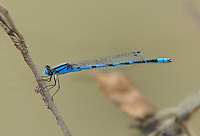 320230001 a wild male big bluet enallagma durum perches on a dried grass stem over a stream at santa ana national wildlife refuge in the rio grande valley of south texas united states