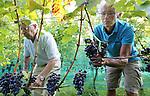 Foto: VidiPhoto<br /> <br /> DODEWAARD - Het ziet er niet best uit voor de Nederlandse wijnoogst. Wijngaarden hebben te kampen met meeldauw en de Suzuki fruitvlieg die voor veel rotte druiven zorgt. Daarom plukt wijngaardenier Teun Geluk van de S-akker uit Dodewaard (l) woensdag de meest slechte druiventrossen van zijn 1300 wijnstokken, voordat maandag de echte oogst begint. De druiven in de voorpluk worden gebruikt voor zoete wijn. Doordat fruitvliegjes voor verzuring zorgen, worden trossen met rotte druiven uit voorzorg weggeknipt. De wijnen van Geluk vallen ieder jaar in de prijzen. Wijnboer Freek Verhoeven van Wijnhoeve de Colonjes uit Groesbeek, de grootste wijngaard van Nederland, noemt de oogst dit jaar &quot;een ramp. De meeldauw heeft zelfs resistente druiven aangetast. Dit heb ik nog niet eerder meegemaakt.&quot; Oorzaak is volgens hem de lange en natte periode van twee weken terug.