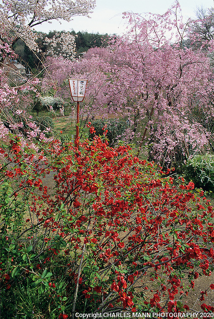 A quiet garden called the Hara Dani Cherry Garden comes to life when the quince, cherry and spireas all bloom together in May.