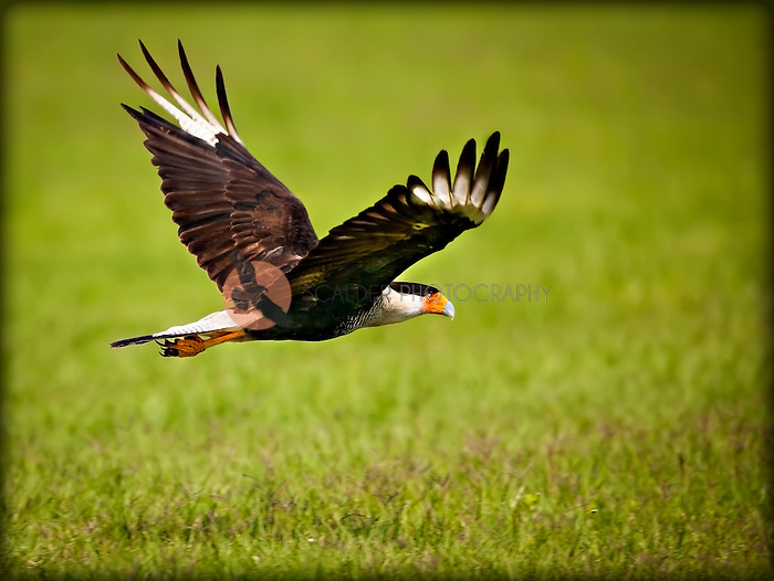 Adult Crested Caracara in flight in the Viera Wetlands, Florida