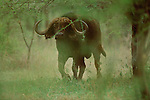A cape buffalo walks through the woods in Serengeti National Park, Tanzania.