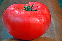 Beefsteak red ripe tomato picked vegetable fresh from the garden with dew drops rain water droplets