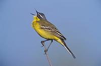 Yellow Wagtail (Motacilla flava), male singing, Austria