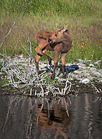 A very wet Moose calf standing at the edge of the water with muddy legs and his tongue is protruding. His reflection is visible in the water