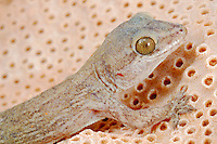 Leaf-toed Gecko head (Haemodracon trachyrhinus), perched on a coral fossil, endemic to Socotra, Yemen.