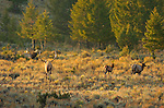 Elk at Sunrise, Lower Mammoth, Yellowstone National Park, Wyoming