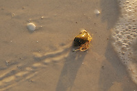 A hermit crab returning to the ocean at sunset.