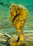 It is not uncommon to find good-size seahorses (5-7 inches / 12-17 cm) out on the sandy bottom or clinging to detritus on the bottom of the Lembeh Strait (North Sulawesi, Indonesia).  We found this one clinging to a clump of grass and leaves on the sandy bottom.