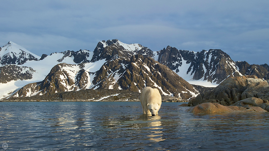 Polar bear contemplates going for a swim after raiding  a bird island in Smeerenburgfjorden, Spitsbergen, Svalbard.