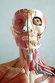 An anatomical model showing the skeletal and muscular structures of the face and neck. The detail extends to arteries and veins. Anatomical models are commonly used for training purposes as they make for clearer demonstration than anatomical specimen. Royalty Free