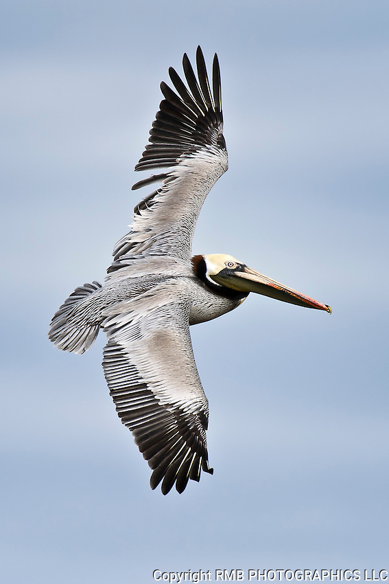 Brown Pelican Flying