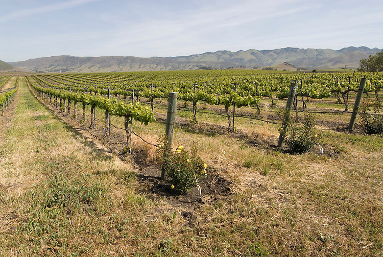 California, San Luis Obispo County: Grape fields at Edna Valley Vineyard, chardonnay..Photo caluis110-71002..Photo copyright Lee Foster, www.fostertravel.com, 510-549-2202, lee@fostertravel.com