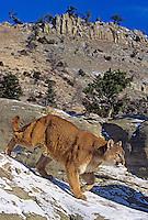 656326324 Mountain Lion Felis concolor CAPT.Central Montana