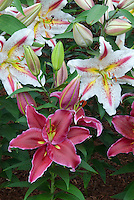 Lilies Love Story & Starburst