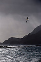 Wandering Albatross (Diomedea exulans) flying over rugged coast near Stromness, South Georgia, South Atlantic.