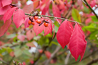 Burning Bush Euonymus alata in fall with berries showing one branch with red leaves and berries