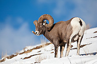 North American Wild Sheep