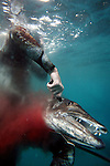 "Kenneth Kelly ""brains"" a barracuda after spearing it while freediving and spearfishing off the coast of North Carolina. Often after a fish is shot and captured, the hunter will stab it in the head to make sure the animal is dead. ""Blood in the Water - Brained"""