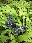 Taylor's Checkerspot Butterfly, Euphydryas editha taylori.  Digital assembly