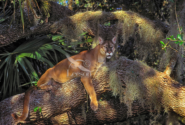 Florida Panther (Felis concolor coryi) resting in tree amid Spanish moss, oak and saw palmetto. Endangered Species. Florida.