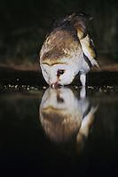 Barn Owl (Tyto alba), adult at night drinking from pond, Rio Grande Valley, Texas, USA