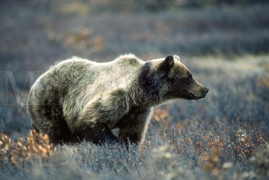 A brown bear surveys an area of tundra in Denali National Park in central Alaska.