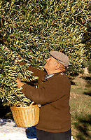 France. Provence.  Elderly man picking olives for oil production.