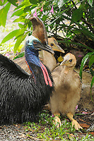 Southern Cassowary (Casuarius casuarius) adult male with chicks, Wet Tropics World Heritage National Park, Queensland, Australia