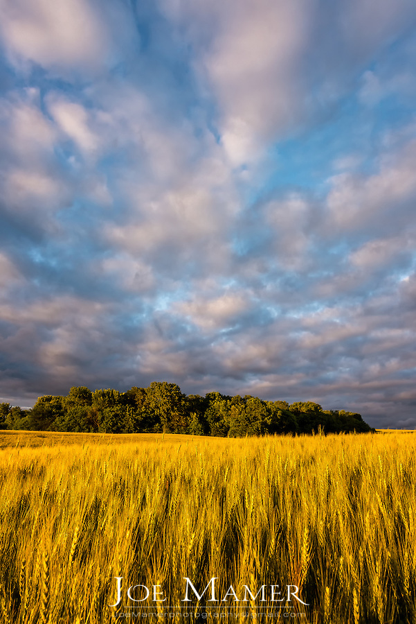 Golden wheat field on the Minnesota Prairie.