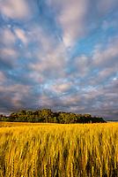 Golden wheat field on the Minnesota Prairie.