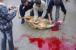 Ritual slaughter of a sheep, during the Day of Ashura, on which shi'a muslims commemorate the martyrdom of Husayn ibn Ali, grandson of Muhammad, and third shi'a imam.(Bijar, Iran, 2012).
