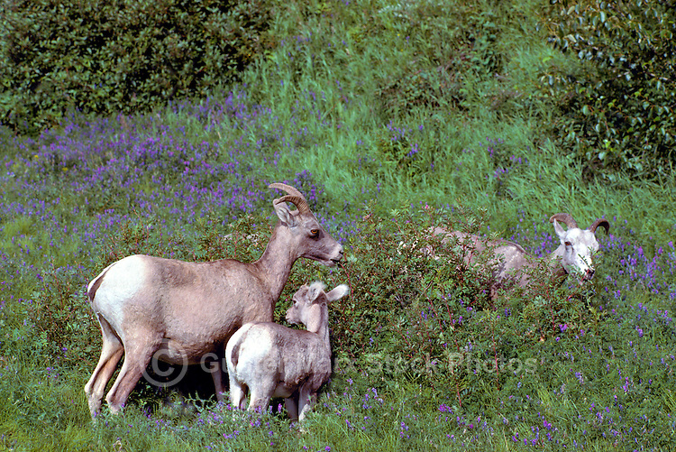 Rocky Mountain Bighorn Sheep Family - Ewes and Lamb (Ovis canadensis) grazing in Meadow, Jasper National Park, Canadian Rockies, AB, Alberta, Canada