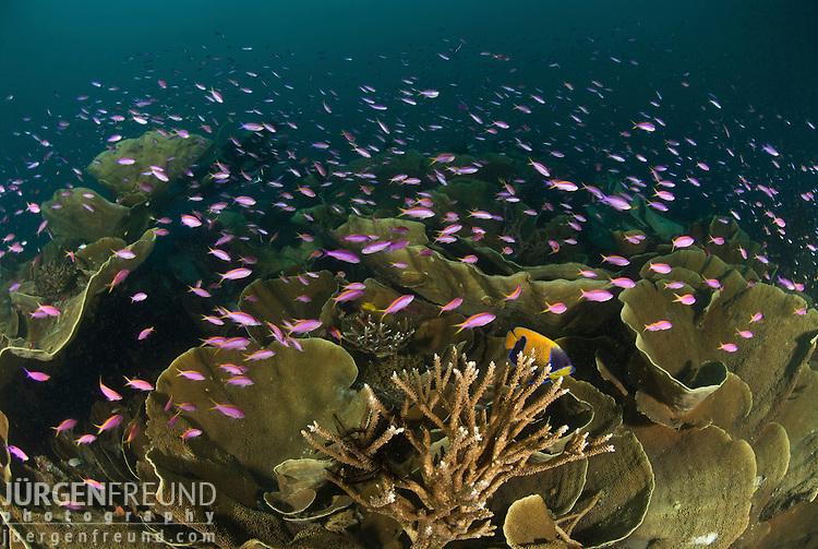 Bartlett's anthias or fairy basslets (Pseudanthias bartlett) in amongst cabbage corals.