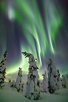 Aurora borealis over snow covered spruce trees, interior, Alaska.