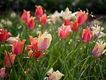 Spring in Sarah P. Duke Gardens.<br /> Tulips in the Terrace<br /> Photo by Bill Snead/Duke Photography #dukephotoaday, #dukefacilities