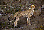 Africa, East Africa, Tanzania, Serengeti. A cheetah watches over the Serengeti Plain from a ridge.