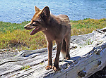 red fox standing on a weathered log on a beach on Henry Island in the San Juan Islands on a sunny summer day