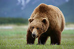 Brown bear or grizzly, Katmai National Park, Alaska