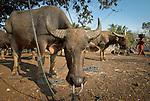 Water buffalo parking lot, Warloka market, Flores