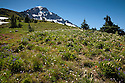 OR01664-00...OREGON - Wildflower covered meadow above McNeil Point Shelter on the side of Mount Hood in the Mount Hood Wilderness Area.