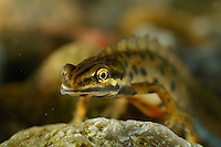 Close up of the head of a male Smooth Newt (Triturus vulgaris).