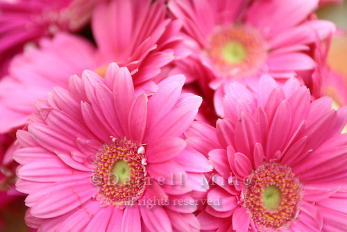 April 30, 2007; Los Angeles, CA - Pink Gerbera flowers..Photo Credit: Darrell Miho