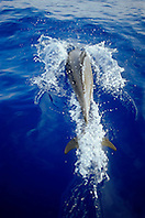 wild bottlenose dolphin, bow-riding, Tursiops truncatus, off Kona Coast, Big Island, Hawaii, Pacific Ocean