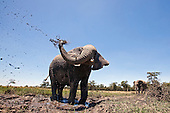 African Elephant at waterhole spraying mud (Loxodonta africana), Masai Mara, Kenya.