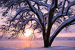 Idaho, Coeur d' Alene. A snow filled tree on Lake Shore Drive in the evening light of winter.