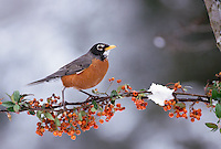 Robin stands on winter branch of orange pyracantha berries and snow