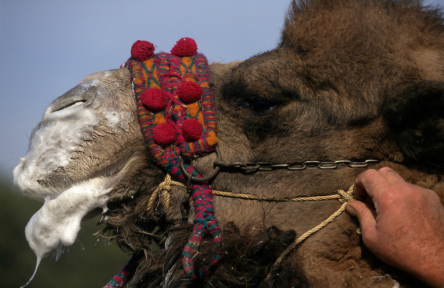 Selcuk, Turkey, 21/01/01..The traditional sport of camel wrestling is popular throughout western Turkey in the winter months; the largest event is the annual festival held in Selcuk on the third weekend of January. An owner leads his camel, frothing at the mouth, into the arena.
